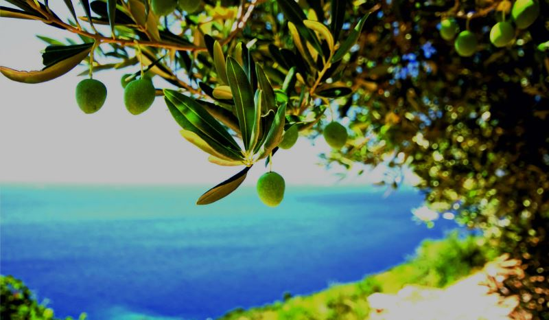 Moires olive tree