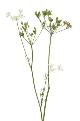 herb-cumin-flower