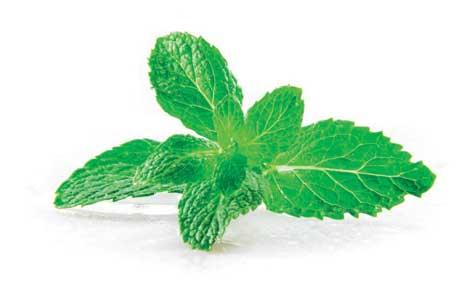 herbs-leaves of spearmint